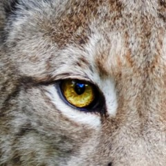 The Eye of The … Lynx